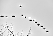 Migrating geese in Madison, Wisconsin Saturday, Dec. 16, 2017.  Steve Apps Photography.