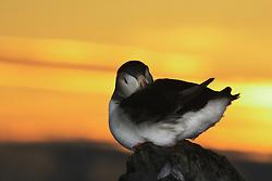 Atlantic puffin (Fratercula arctica) in midnight sun, Hornøya, Vardø, Norway