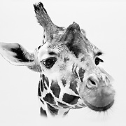 Soul Survival: African Giraffe (Scientific name: Giraffa camelopardalis)<br />