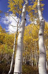 Fall foilage in an Aspen tree forest, Salt Lake City, UT