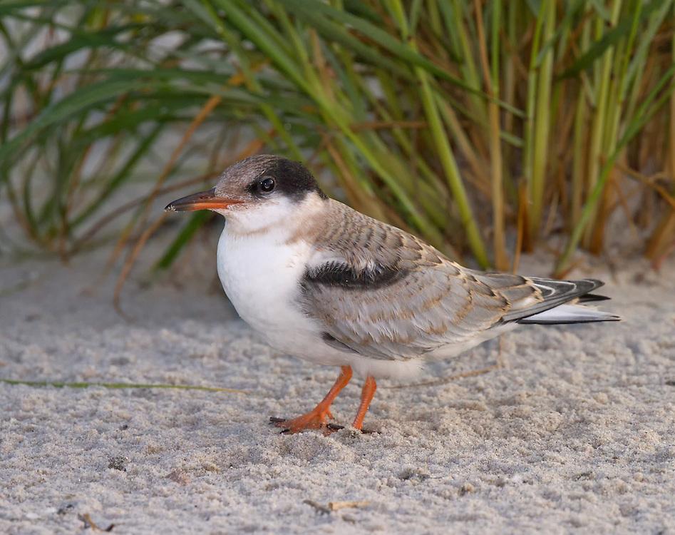 Common Tern (Sterna hirundo) chick, Nickerson Beach, Lido Beach, Long Island, Nassau County, New York