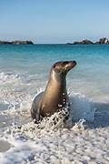 Galapagos Sealion (Zalophus wollebaeki)<br /> Gardner Bay, Española or Hood Island, GALAPAGOS ISLANDS<br /> ECUADOR.  South America