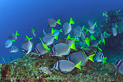 A school of Galapagos Surgeonfish, Prionurus laticlavius, swims over a rocky reef in the Galapagos, Ecuador.