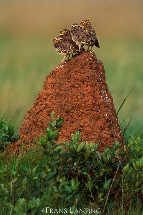 Burrowing owls on termite mound, Athene cunicularia, Emas National Park, Brazil
