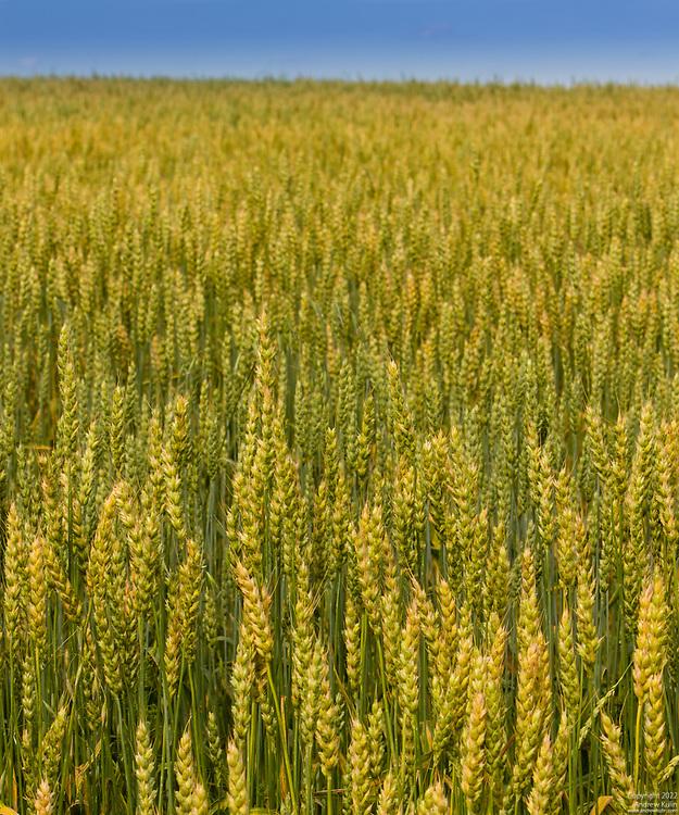 Field of wheat, under a blue mid-summer sky