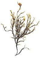 Ascophyllum nodosum (Rockweed) gathered in Hulls Cove, Maine