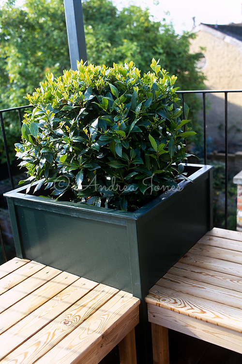 Clipped Laurus nobilis (Bay) in painted wooden planter on balcony. Wooden bench seats with metal balcony railings. Urban city location with buildings & street tree
