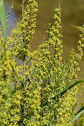 Osyris alba, Rouvet blanc