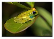 Glass-frog (Boophis tasymena) from Andasibe, Madagascar. Nikon D850, 105mm macro, f11, 1/250sec, ISO400, Nikon SB900 TTL (with diffusor), manual.