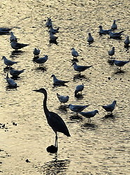 ©London News pictures...  01/11/12 A grey heron takes advantage of the low tide on the banks of the River Thames in the evening sunlight.