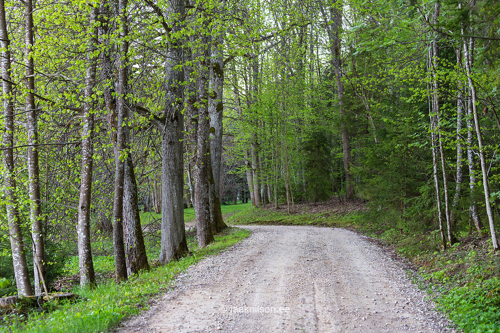 Alley to home. Unpaved small road, old trees. Park in Estonia.