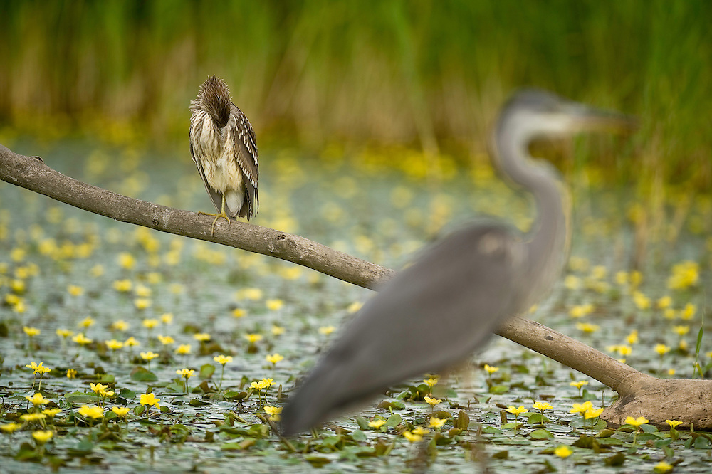 The Grey Heron (Ardea cinerea), and Boat-billed Heron (Cochlearius cochlearius) in Hortobagy National Park, Hungary