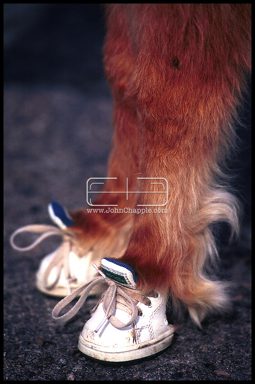 1st February 2001, Kittrell, North Carolina. Cuddles a pigmy horse, who is the first guide horse for the blind. <br /> <br /> Photo Copyright John Chapple / www.JohnChapple.com