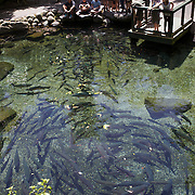 Trout in pools watched by school children at Rainbow Springs  Rotorua, 10th December 2010,  New Zealand,, 2010 Photo Tim Clayton.