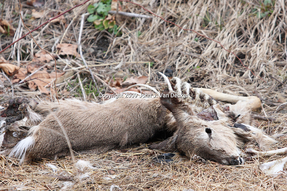 Dead White-tailed Deer partially eaten by wildlife