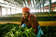 Peermade Development Society's Organic Tea and Spice Factories