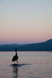 """Canadian Goose at Lake Tahoe 2"" - This Canadian Goose was photographed from a kayak at Sunrise on Lake Tahoe, near Speed Boat Beach."