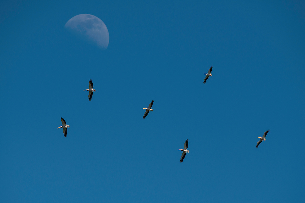 White pelican (Pelecanus onocrotalus) flying high over the delta with the moon behind, Danube Delta, Romania.