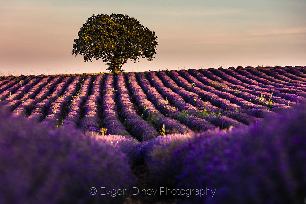 Violet furrows of lavender plants ending to a lonely tree