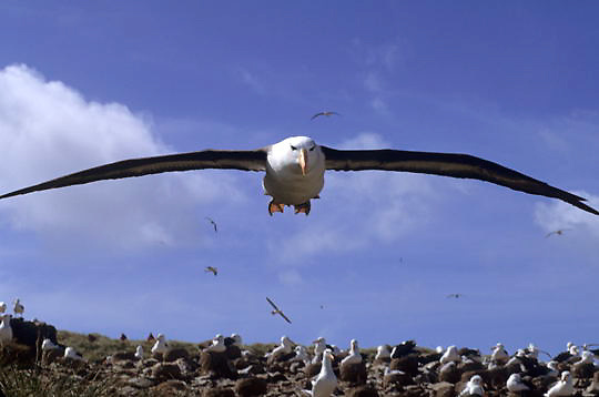 Black-browed Albatross (Diomedea melanophris) Adult in flight. Steeple-Jason Island. Falkland Islands.