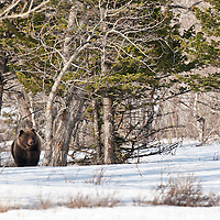 grizzly bear mature boar walking snow drift trees