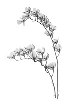 X-ray image of Lava Burst orchid stalks (Howeara 'Lava Burst', black on white) by Jim Wehtje, specialist in x-ray art and design images.