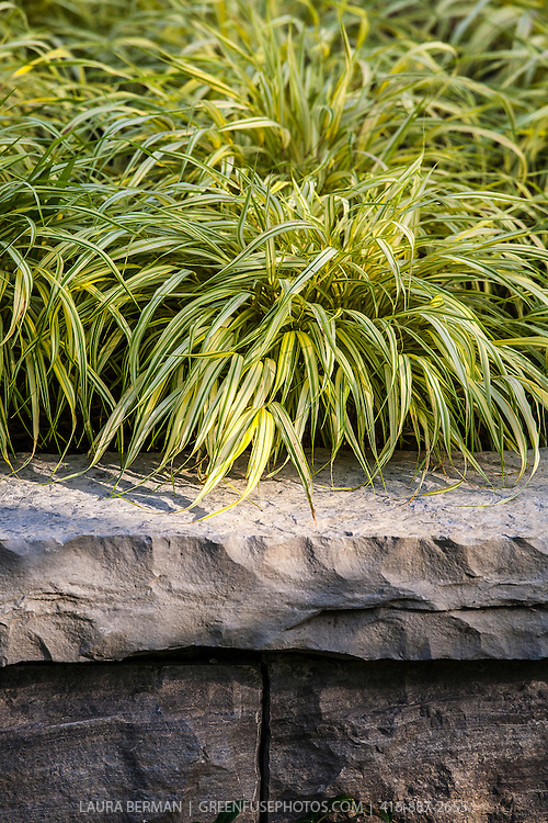Golden Japanese Forest Grass or Gold-Striped Hakone Grass<br />  (Hakonechloa macra 'Aureola')