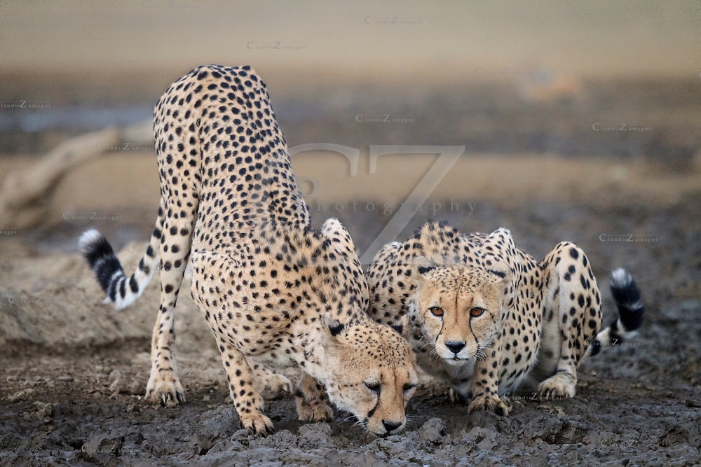 Cheetahs drink  water at Rooiputs  in Kgalagadi Transfrontier park Botswana side<br />