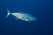 Dogtooth tuna-Thon à dents de chien (Gymnosarda unicolor), Rangiroa atoll, French Polynesia.