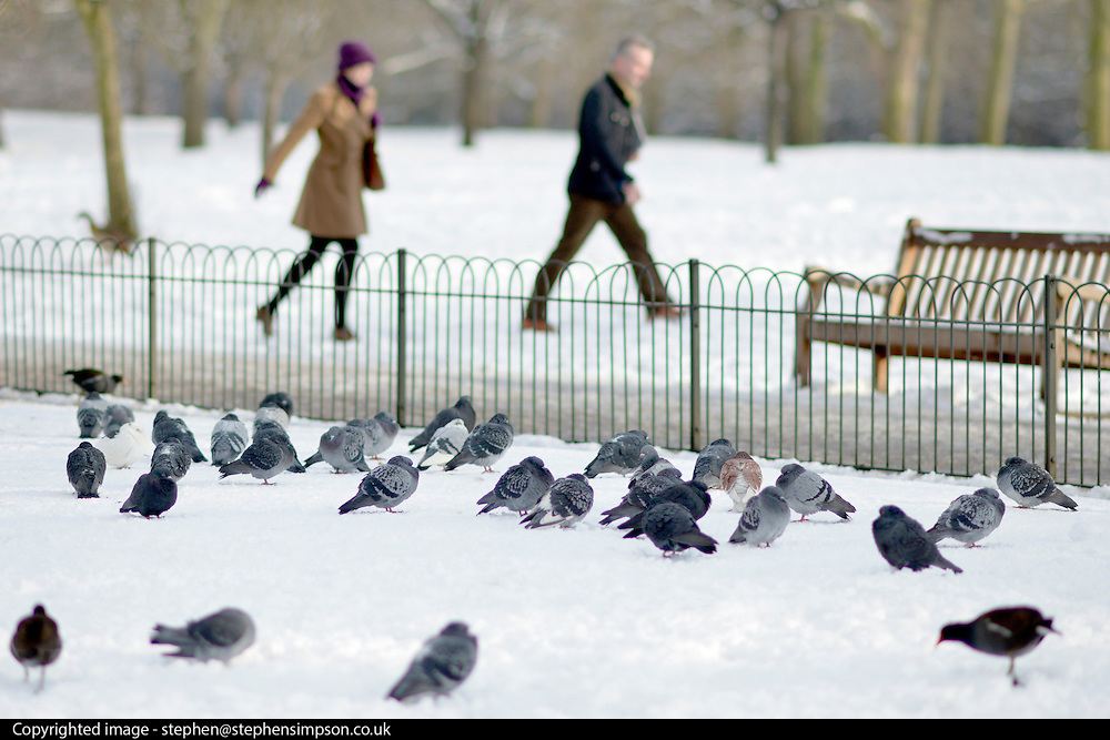 © Licensed to London News Pictures. 21/01/2013. Westminster, UK Pigeons group together. Snow in the Royal Park, St James Park, in Central London today 21 January 2013. Photo credit : Stephen Simpson/LNP