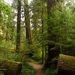 Cut Douglas fir makes way for the trail. Location: Quinault Rain Forest Trail, Olympic National Forest, Washington, US