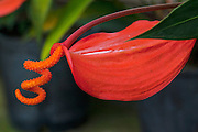 Pigtail Anthurium, Kula BotanicalGarden, Upcountry, Maui, Hawaii