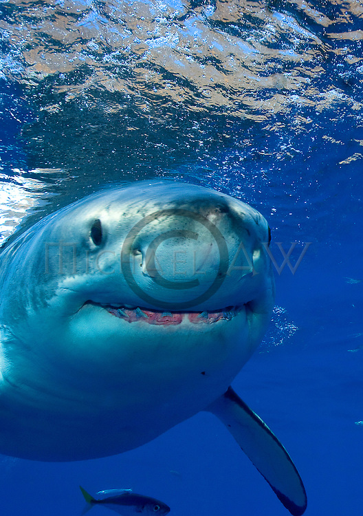 Great white shark; Carcharodon carcharias; White pointer; white shark; Lamniform shark, Guadalupe, Mexico