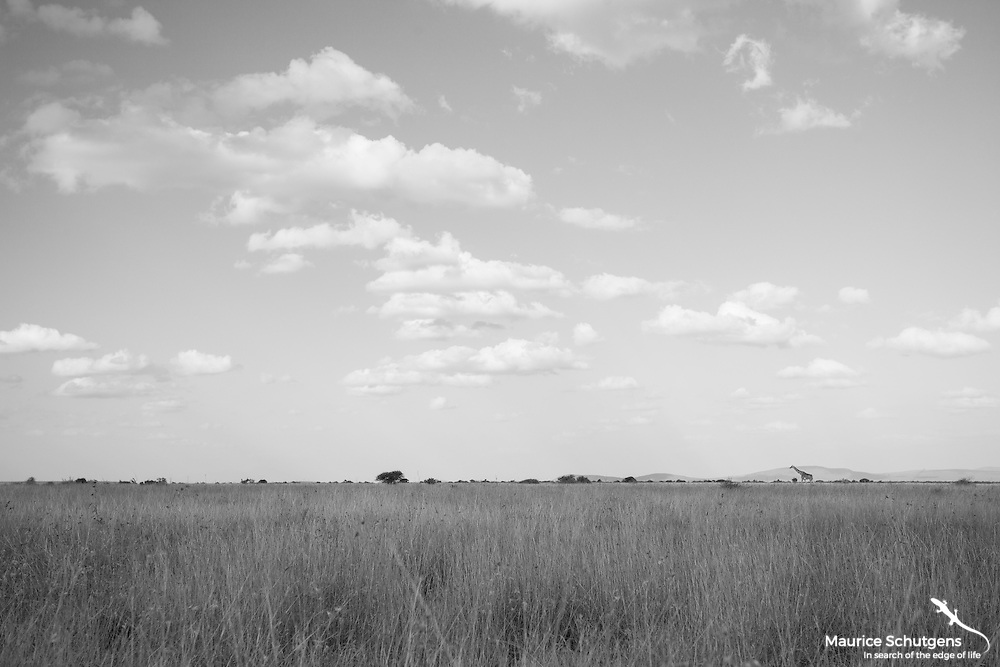 A lonely reticulated giraffe on Loisaba Conservancy's horizon.