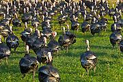Free-range Norfolk bronze turkeys returning to their barn after  roaming at Sheepdrove Organic Farm , Lambourn, England