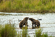 Brown Bear cubs play along the lower Brooks River in Katmai National Park and Preserve September 16, 2019 near King Salmon, Alaska. The park spans the worlds largest salmon run with nearly 62 million salmon migrating through the streams which feeds some of the largest bears in the world.