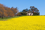 Dilapidated rundown old wooden farm house in paddock  of canola crop near Junee, New South Wales, Australia <br /> <br /> Editions:- Open Edition Print / Stock Image