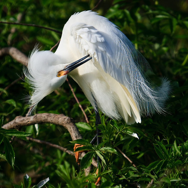 A wild snowy egret (Egretta thula) taking a break to preen as it begins to stake out nesting territory at the beginning of the breeding season, St. Augustine Alligator Farm Rookery, Anastasia Island, St. Augustine, Florida