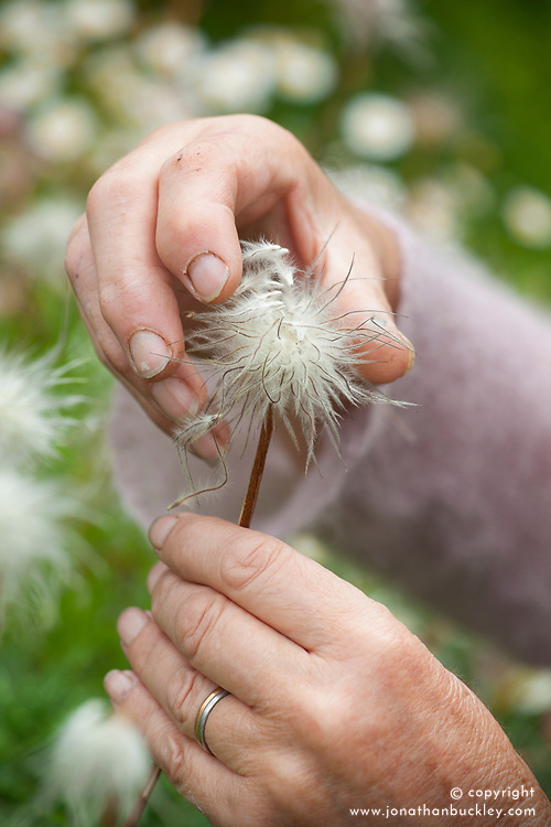 Collecting seed of Pulsatilla vulgaris