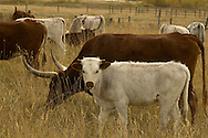 Longhorn Cattle, Bull with herd