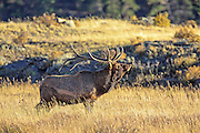Rocky Mountain Elk Bugling in autumn habitat