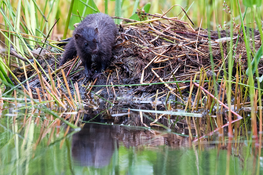 Mink attempting to raid loon's nest, Echo Lake, Acadia NP, Maine