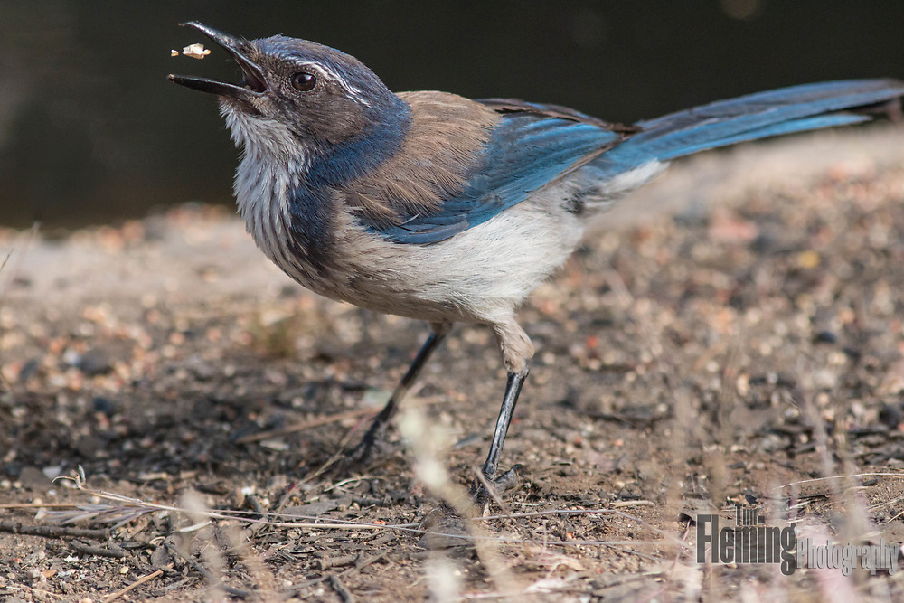 Western scrub jay tosses food in the air.