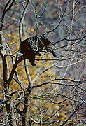 Black bear relaxes in a tree during midday in fall - Smoky Mountains N.P.
