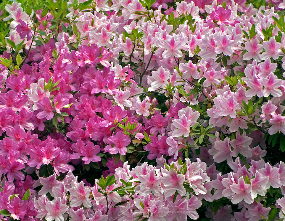 Pink azaleas bloom in downtown Columbus, Miss. April 19, 2010. Columbus, located on the banks of the Tombigbee River, is part of the Golden Triangle, which is comprised of Columbus, Starkville, and West Point. The town was founded in 1821 and was named one of the National Historic Trust's 12 Distinctive Destinations in 2008. (Photo by Carmen K. Sisson/Cloudybright)