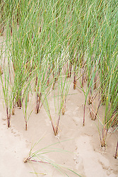 Close up of Marram Grass in Ainsdale beach sand dunes; Lancashire; England,