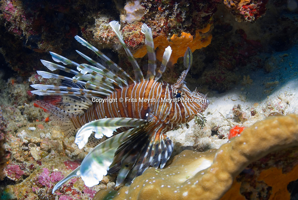 Similan Islands Marine National Park, Thailand, April 2007. A Lionfish at Breakfast Bend dive site Koh Ba Ngu. Nine uninhabited islands make up the Similan Archipelago. Above the water they are mere rocks sticking out of the ocean. Under water, the Similan coral reefs are teeming with life, and are rated among the best dive sites in the world. Photo by Frits Meyst/Adventure4ever.com