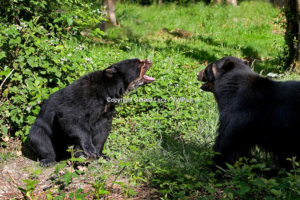 Spectacled Bear, tremarctos ornatus, Adults Fighting