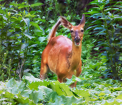 You can see by the expression on this doe that she is just enjoying herself while feeding on the vegetation in my Uncle's backyard.