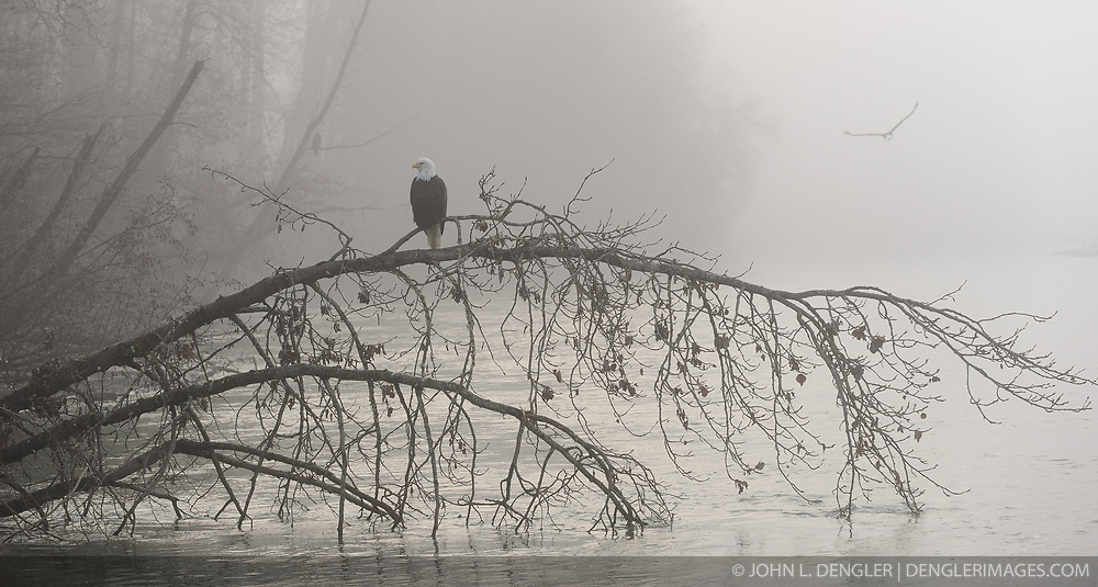 Bald eagles (Haliaeetus leucocephalus) sit and fly in the early morning fog in the Alaska Chilkat Bald Eagle Preserve along the Chilkat River near Haines, Alaska. During late fall, bald eagles congregate along the Chilkat River to feed on salmon. This gathering of bald eagles in the Alaska Chilkat Bald Eagle Preserve is believed to be one of the largest gatherings of bald eagles in the world.
